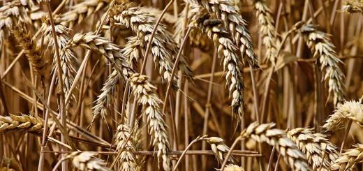 wheat-3524861_960_720