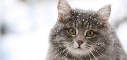Серый кот в снегу-1
