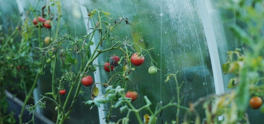 tomato-1180852_960_720