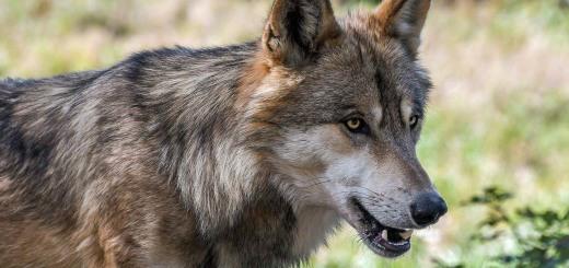 wolf-2952937_1280